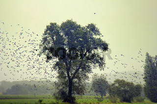 Big flocks of starlings before sleepover concentrated in dense flocks