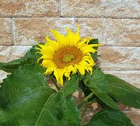 Sonnenblume, Helianthus, annuus,