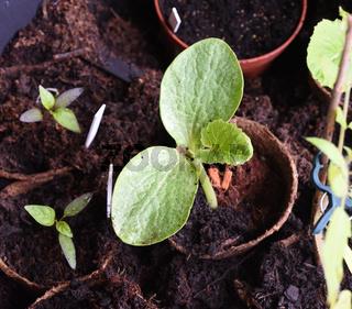 Kuerbispflanze, Jungpflanze, Cucurbita, Keimling