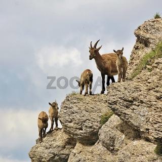 Alpine ibex kindergarten seen on Mount Niederhorn. Wild goat living in the Alps.