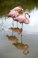Kuba-Flamingos (Phoenicopterus ruber)
