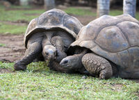two Big Seychelles turtles in park.