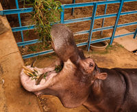 portrait of eatin hippopotamus in Niamey at Niger