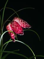Nahaufnahme der Blüte einer Schachbrettblume vor schwarzem Hintergrund