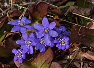Leberbluemchen, Hepatica nobilis, liverleaf,