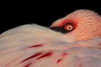 Lesser Flamingo Closeup