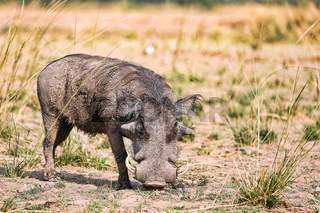 Warzenschwein, South Luangwa Nationalpark, Sambia, (Phacochoerus africanus),   Warthog, South Luangwa National Park, Zambia, (Phacochoerus africanus)