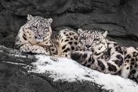 Snow Leopard Pair III