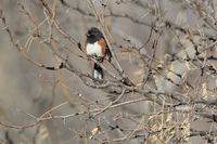 Spotted towhee, Bosque del Apache National Wildlife Refuge, New
