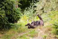 A chimpanzee is sitting in the meadow