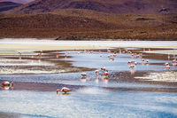 View flock of James Flamingo feeding in the Canapa Lake