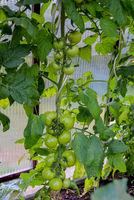 grüne Tomaten Gemüseanbau im Gewächshaus im Garten