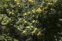 Esskastanien am Baum im Herbst
