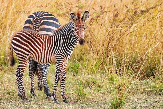 Steppenzebras mit Jungtier, South Luangwa Nationalpark, Sambia, (Equus quagga) | Plains Zebras with a young one, South Luangwa National Park, Zambia, (Equus quagga)