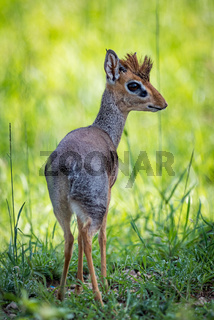 Kirk dik-dik turning head to face camera