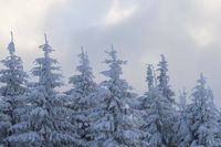 Snow covered fir trees on winter morning