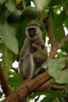 Vervet monkey mother holding baby on branch