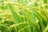 Close up paddy rice