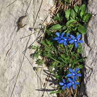Natural flower bed. Gentiana verna, gentians growing in the Alps.