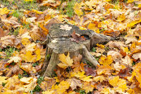 Stump surrounded by fallen leaves