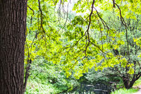 oak tree lit by sun over forest river in city park