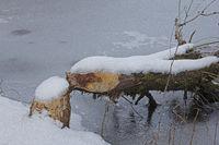 Von einem Biber gefaellter Baum