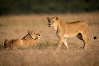 Lioness walks past another in long grass