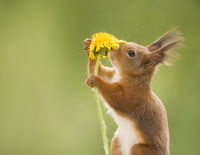 red squirrel is smelling a dandelion