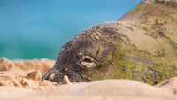 Hawaiian Monk Seal Resting on the Beach