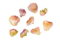 Vertrocknete Blütenblätter einer Rose auf weißem Hintergrund