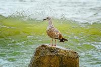 Nestling of seagull on stone