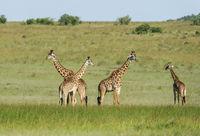 Four giraffes, Giraffa Maasai Mara, Kenya, Africa.