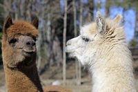 Close up of Two Alpacas