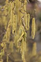 Korkenzieherhasel (Corylus avellana)