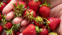 Close-up in a woman's hands juicy ripe strawberry. Flat lay