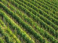 Südtiroler Weinberge von oben gesehen