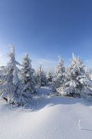 Snow covered fir trees in winter