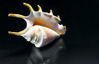 Sea shell of fancy shape on dark background.