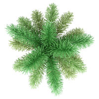 foxtail palm tree isolated on white background. top view