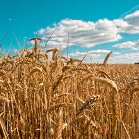 ripe cereals on the big field just before harvesting