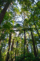 Giant Sequoia redwood forest, Rotorua, New Zealand