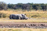 male of white rhinoceros Botswana, Africa