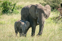 African bush elephant and calf stand side-by-side