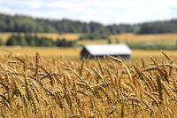Ripening Wheat in August