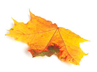Multicolor autumn maple leaf on white background