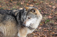 The head of a wolf from the side