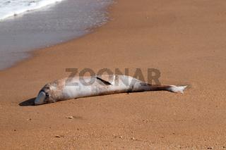 dead Dolphin thrown on beach