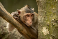 Long-tailed macaque on bamboo pole stares right