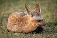 Bat-eared fox lies on grass facing right