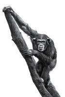 Chimpanzee XXV